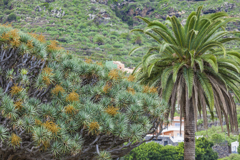 Beroemde draakboom (Dracaena-draco) onder palmen in Icod DE stock foto's