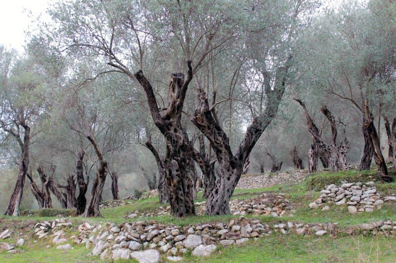In beroemde Olivewood (Montenegro, Ulcinj, de winter) royalty-vrije stock afbeelding
