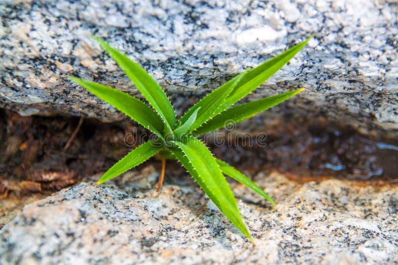 Πράσινη νέα αύξηση της πιό berrier ανάπτυξης από το αμμοχάλικο και τις πέτρες στοκ φωτογραφία με δικαίωμα ελεύθερης χρήσης