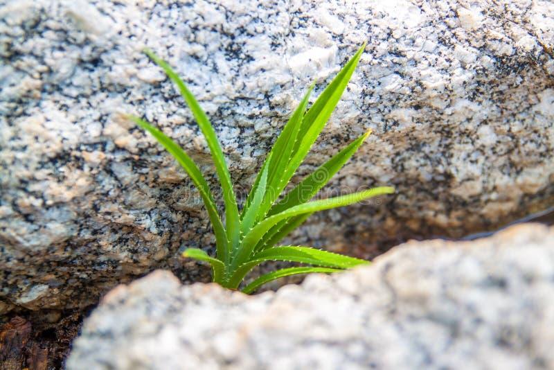 Πράσινη νέα αύξηση της πιό berrier ανάπτυξης από το αμμοχάλικο και τις πέτρες στοκ εικόνα