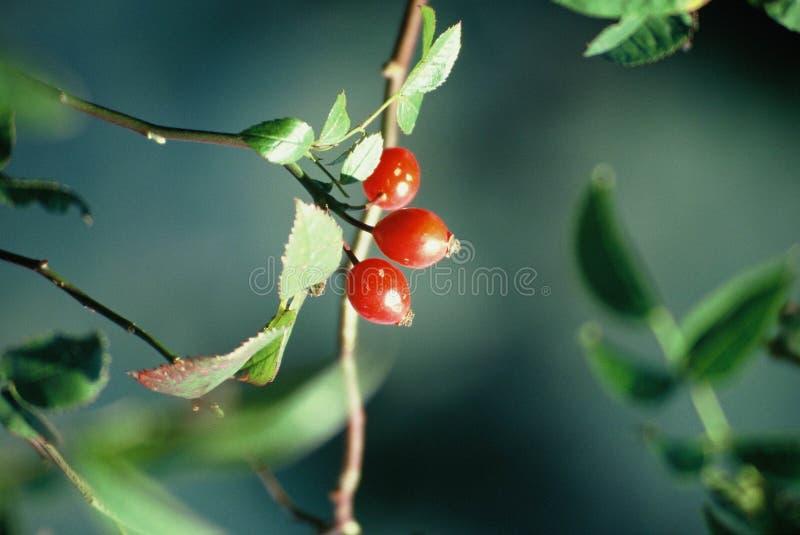 Download Berries stock image. Image of zoom, herculane, sweet, ripeness - 1433
