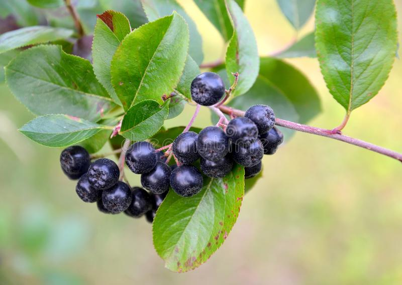 Berries of an aroniya mountain ash black-fruited Aronia melanocarpa Michx. Elliott close up.  stock photography
