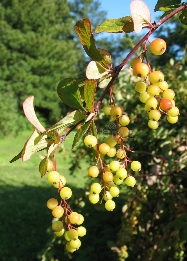 Download The Berries Of Barberry (Berberis) In The Park Stock Photo - Image: 12765416
