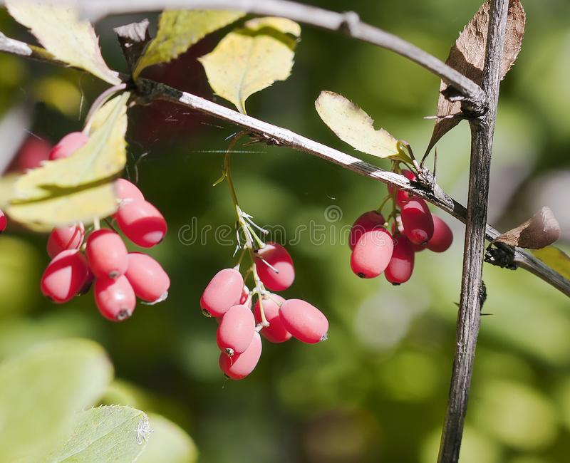Berries of barberry stock images