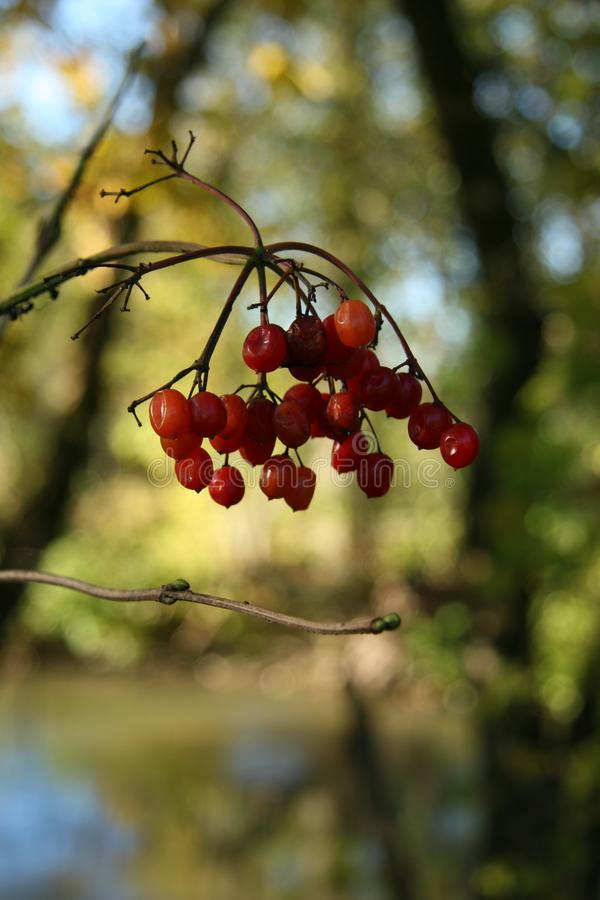 Berries for the Birds royalty free stock images