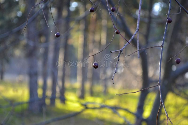 Black cherry berries on the branches. royalty free stock image