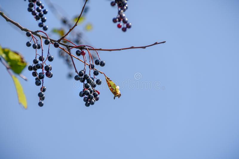 Berries of black cherry on a branch against a blue sky.  stock images