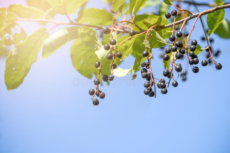 Berries of black cherry on a branch against a blue sky.  royalty free stock photos