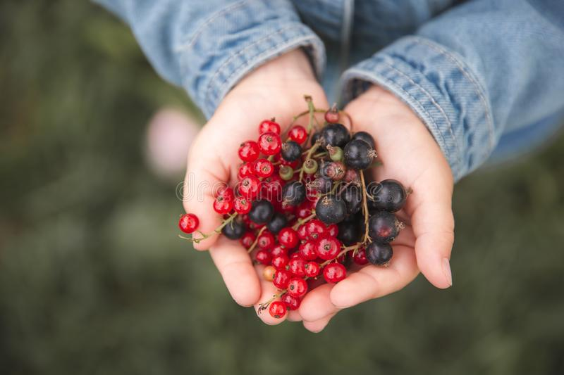Berries and black currants in children`s hands royalty free stock photography