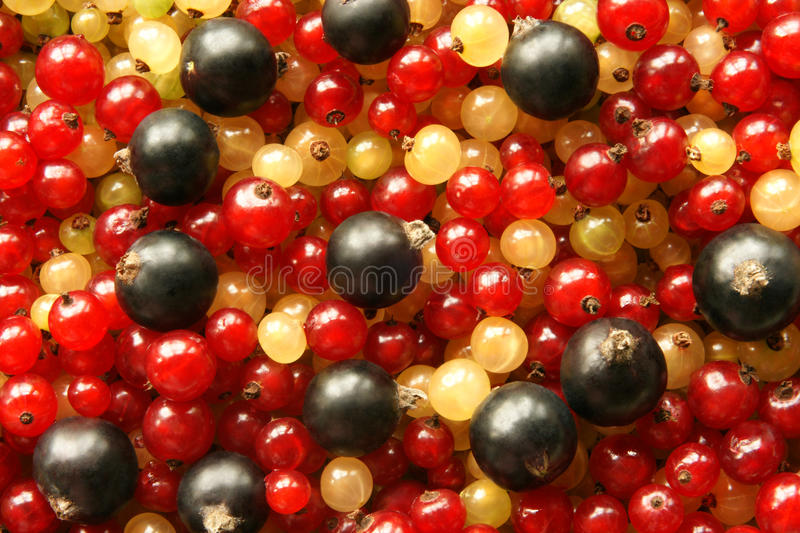 Berries of black red and white currant royalty free stock photography
