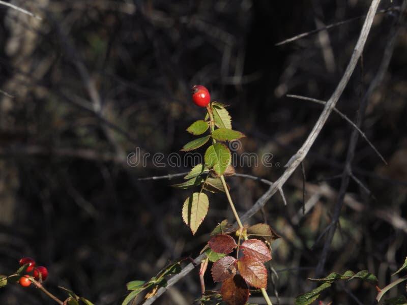 Berries and Bokeh royalty free stock image
