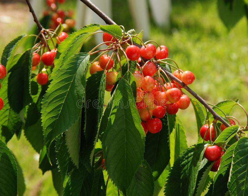 Berries, Branch, Bunch stock photography