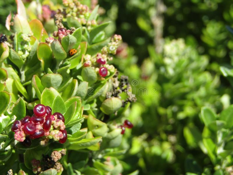 Berries and bug stock photography