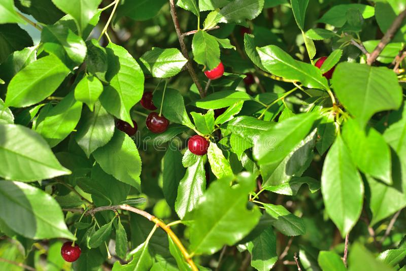 Berries of a cherry color among greens. The dark red color of cherry berries looks contrasted against the background of green foliage stock image