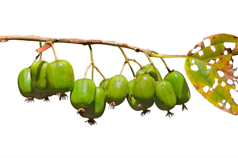 Download Berries of Far-East 2 stock photo. Image of green, close - 27600614