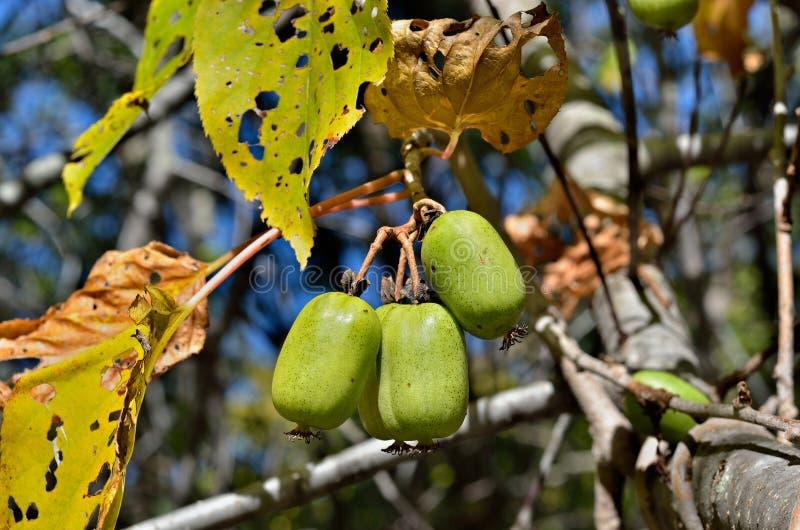 Berries of Far-East 10