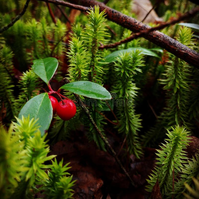 Berries on the forest floor stock images