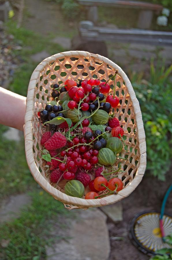Berries. The gifts of summer in one basket stock images
