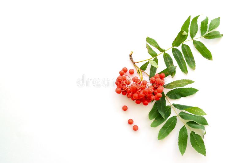 Berries and green leaves of rowan on a white background royalty free stock images