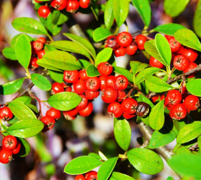 Berries hid in the leaves. A scattering of bright red berries hid in the leaves of the tree on which it grows stock image