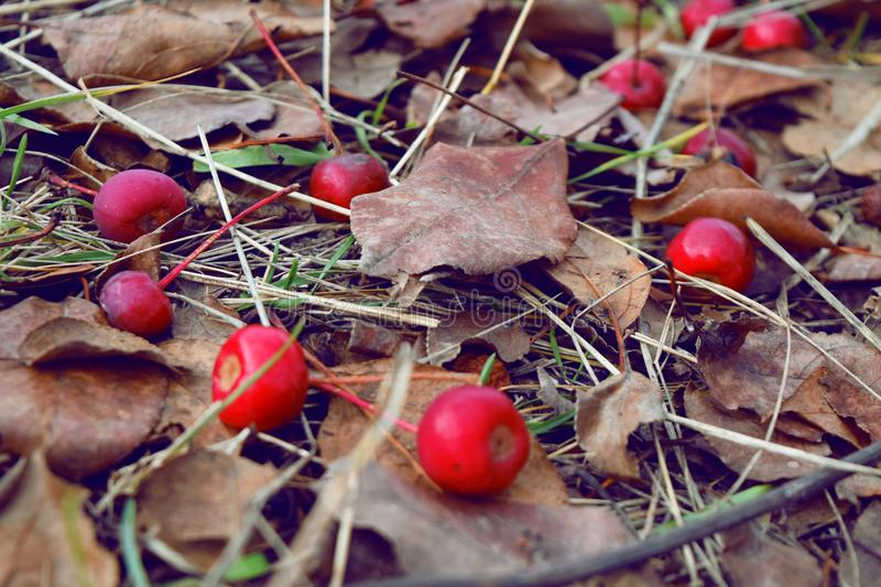 Berries on leaves in autumn stock photo