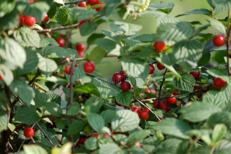 Berries and leaves of garden cherry stock image