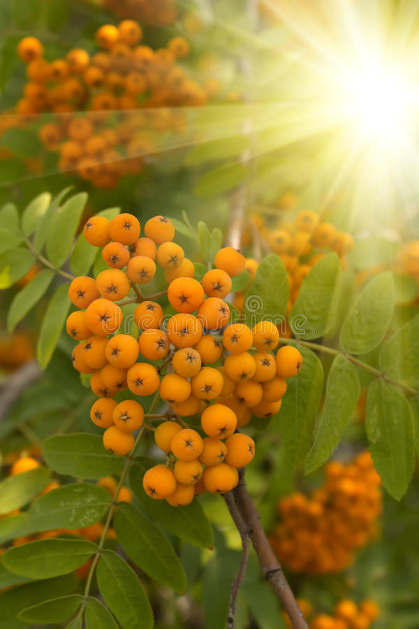 Berries mountain. Mountain ash berries in a bright sunlight stock photos