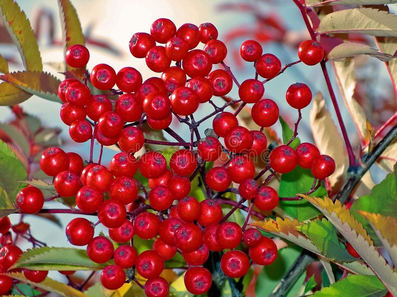 Berries of mountain ash on the bush. Tundra stock photo