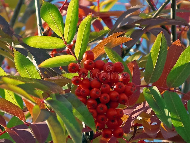 Berries of mountain ash on the bush. Tundra. Berries stock images
