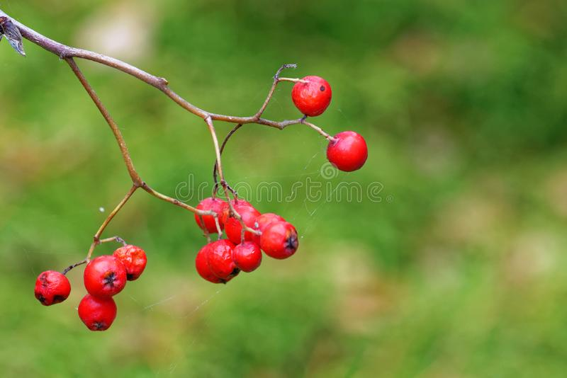 Berries of mountain ash. Mountain ash is a name used for several trees including Sorbus aucuparia, also known as rowan royalty free stock photos