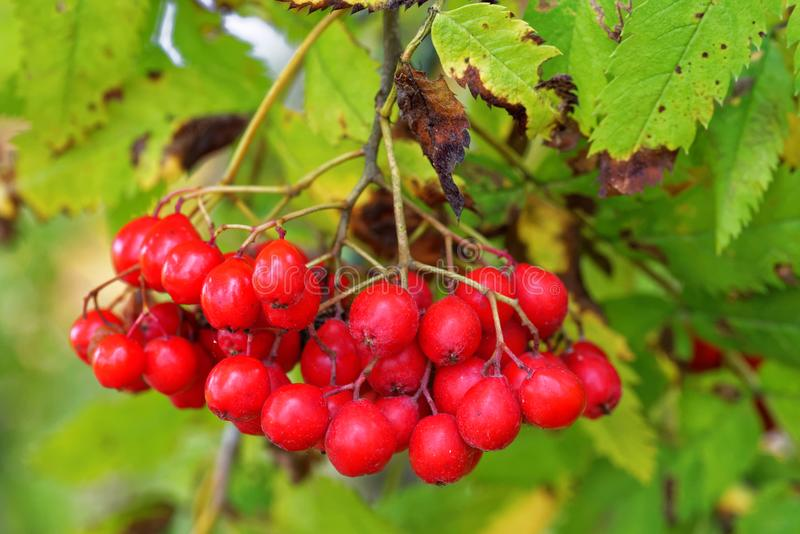 Berries of mountain ash. Mountain ash is a name used for several trees including Sorbus aucuparia, also known as rowan stock photography