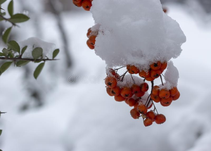 Berries of orange ripe mountain ash on a snowy branch. Close up stock images