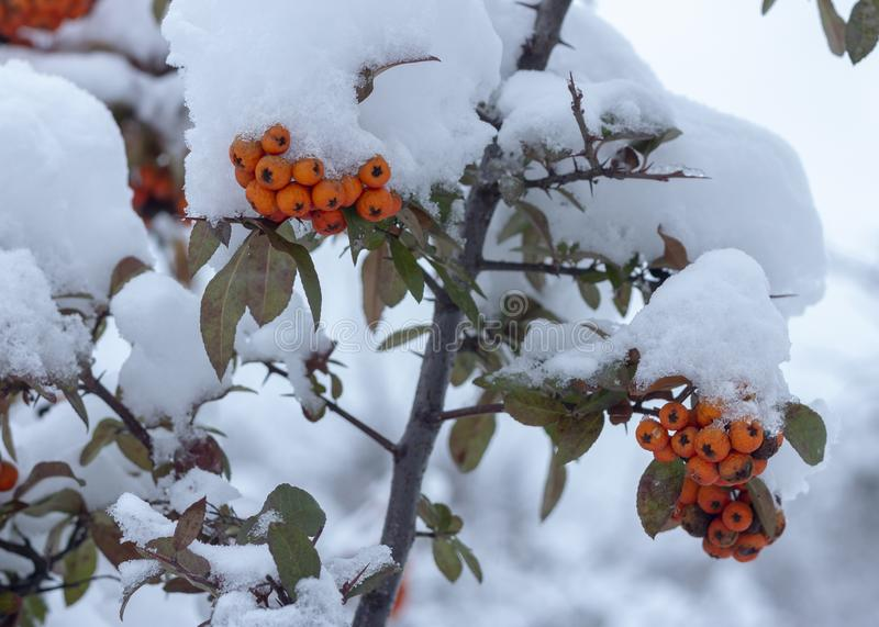 Berries of orange ripe mountain ash on a snowy branch. Close up royalty free stock image