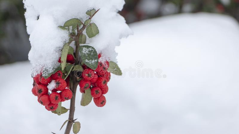 Berries of orange ripe mountain ash on a snowy branch. Close up stock photo
