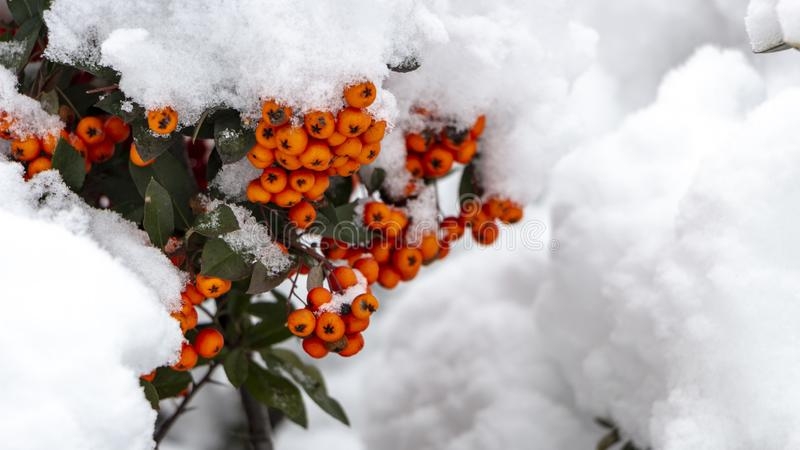 Berries of orange ripe mountain ash on a snowy branch. Close up stock photos