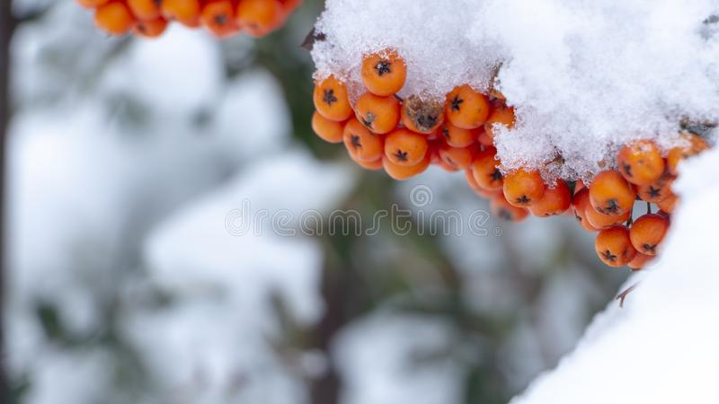 Berries of orange ripe mountain ash on a snowy branch. Close up stock photography