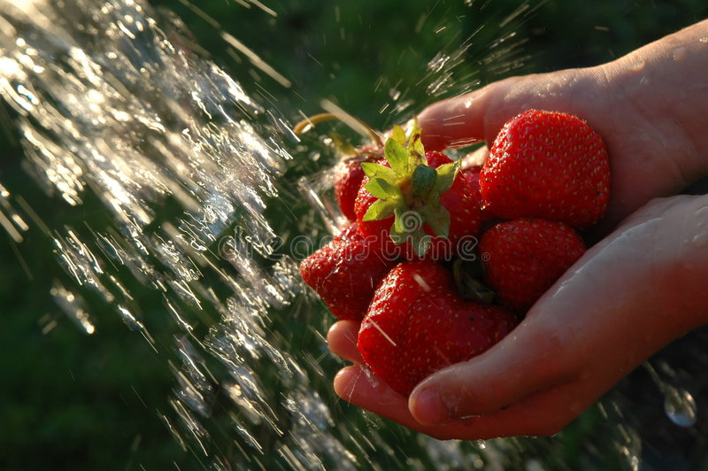 The berries in palm child. Under flow of water. July 2005, my garden, evening, Nikon D70 kit royalty free stock photos