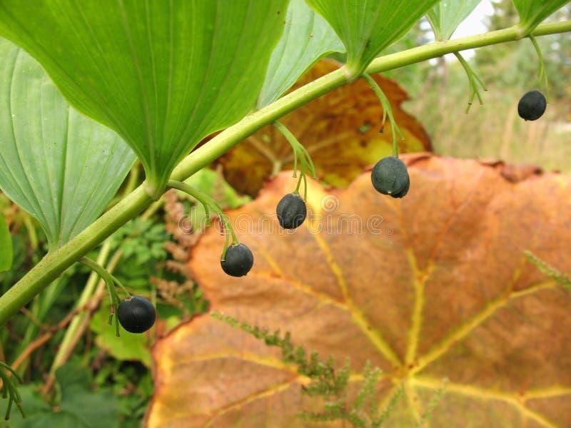 Download Berries Polygonatum Stock Photo - Image: 27002840