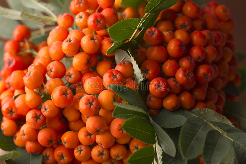 Berries of red mountain ash. Close-up royalty free stock photos