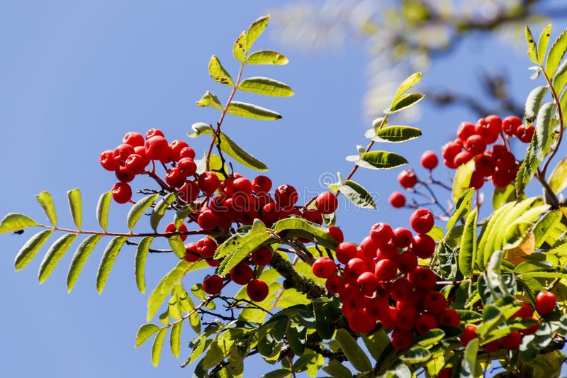 Berries of red mountain ash in leaves royalty free stock image