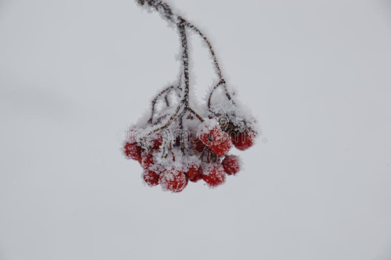 Berries of red mountain ash in the snow royalty free stock photo