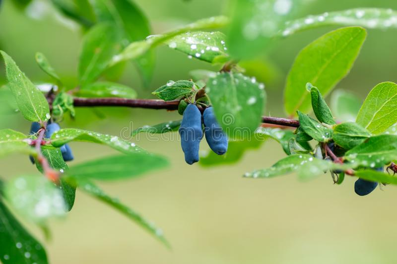 Berries of ripe honeysuckle on the branches. Raindrops on the leaves stock images