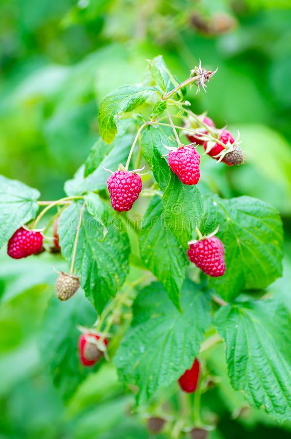 Berries of ripe juicy raspberries on the branch. Raspberry crop close up stock images