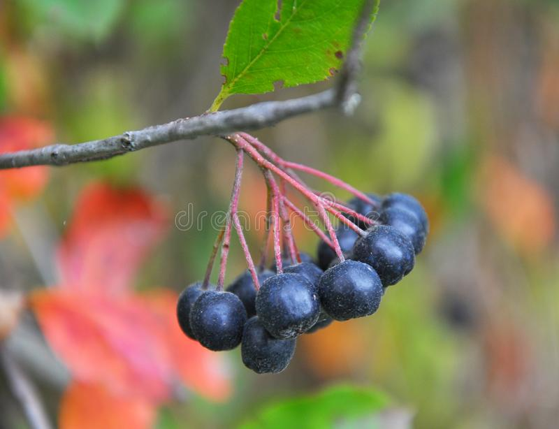 Berries ripen on the branch of the bush Aronia melanocarpa royalty free stock image
