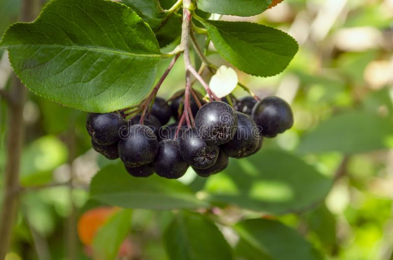 Berries ripen on the branch of the bush with leaves Aronia melanocarpa royalty free stock photo