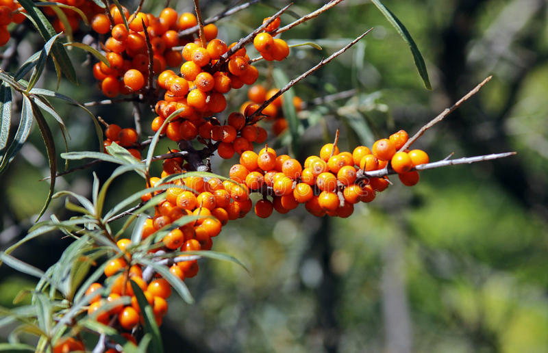 Berries of Sea buckthorn. Sea buckthorn branches with bright orange berries, Hippophae rhamnoides stock photography