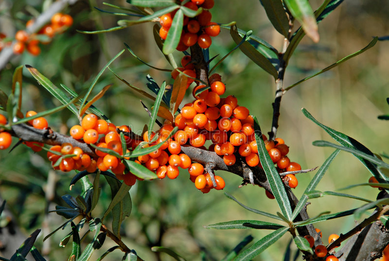 Berries of Sea buckthorn. Hippophae rhamnoides. royalty free stock image