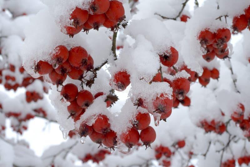 Berries under snow stock image