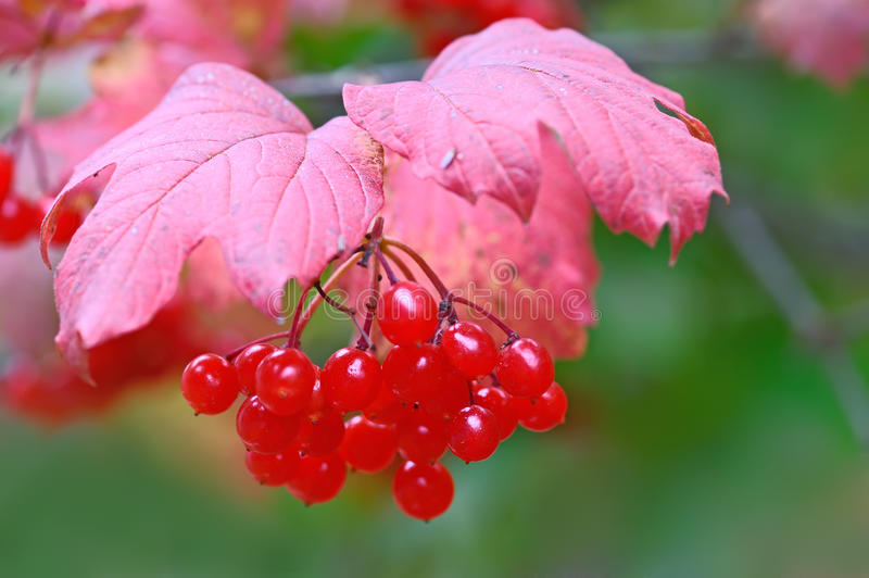 Berries of viburnum royalty free stock photography