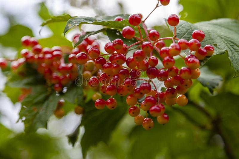 The berries of the viburnum tree royalty free stock image